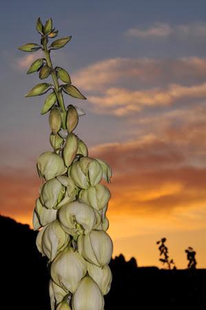 yucca sunset