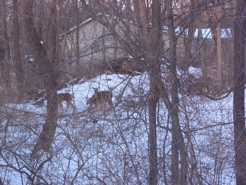 02.17.10 Deer in our Backyard (2)