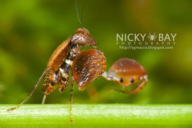 Boxer Mantis (Otomantis sp.?) - DSC_6595
