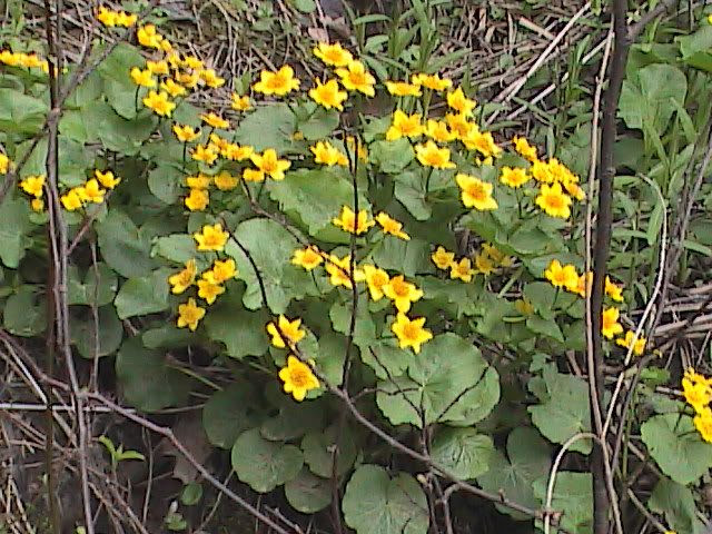 marsh marigold Pictures, Images and Photos