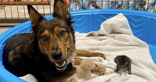 Heartbroken Rescue Dog Adopts A Trio Of Homeless Kittens