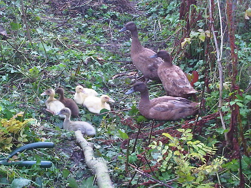Ducks Sept 12