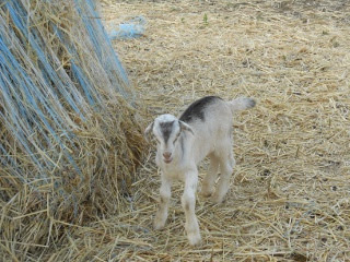 New 2012 Goat Buck Junior