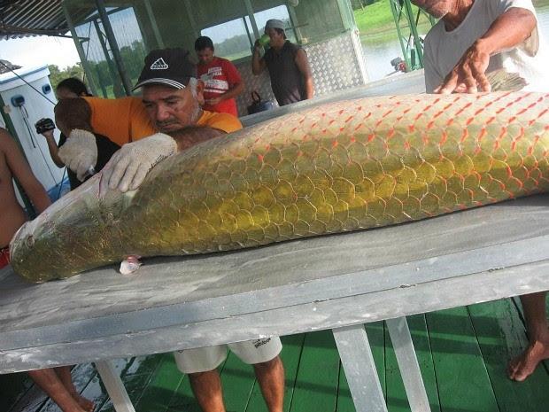 O pirarucu ganhou status de bacalhau da Amazônia (Foto: Agecom/Divulgação)