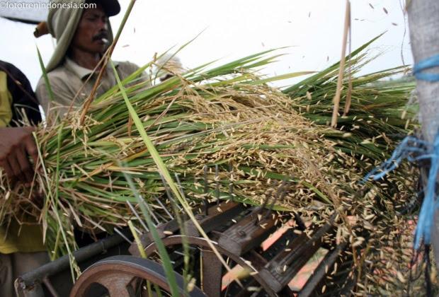 Buruh tani merontokan biji padi menggunakan alat perontok padi tradisional saat panen di persawahan Desa Tugurejo,Kediri, Jawa Timur, Jumat (2/1). Kementerian Pertanian menargetkan swasembada padi pada tahun 2015 mencapai 73,4 Juta Ton, gabah kering giling (GKG), Target produksi tersebut naik 2,79 juta ton dibandingkan realisasi pada tahun 2014 yang diprediksi sebesar 70,61 juta ton GKG, Dengan asumsi produksi padi naik 5 persen hingga 10 persen disetiap Provinsi. ANTARA FOTO/Rudi Mulya.