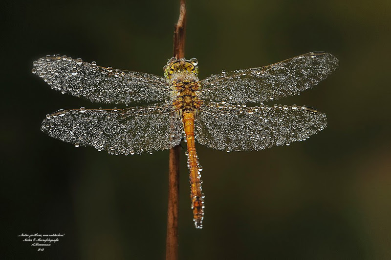 dragonfly-with-dew-on-it-by-andre-baumann