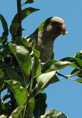 Monk Parakeet Munching on Young Apples