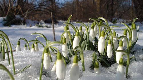 tết, xa quê, quê hương, Đức, hoa xuyên tuyết, người Việt