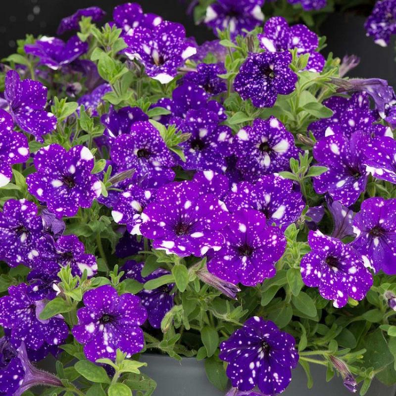 Flores espetaculares parecem ter o universo estampado em suas pétalas 15