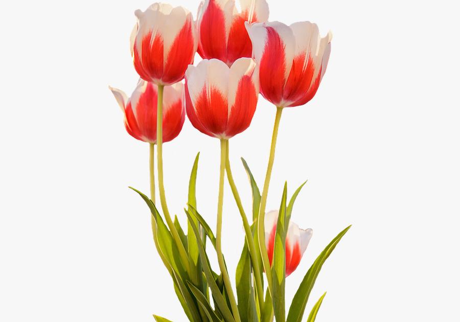 kumpulan gambar untuk belajar mewarnai gambar bunga tulip