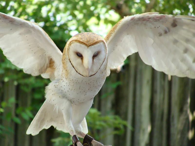White Owl Wings Spread Crazywidowinfo