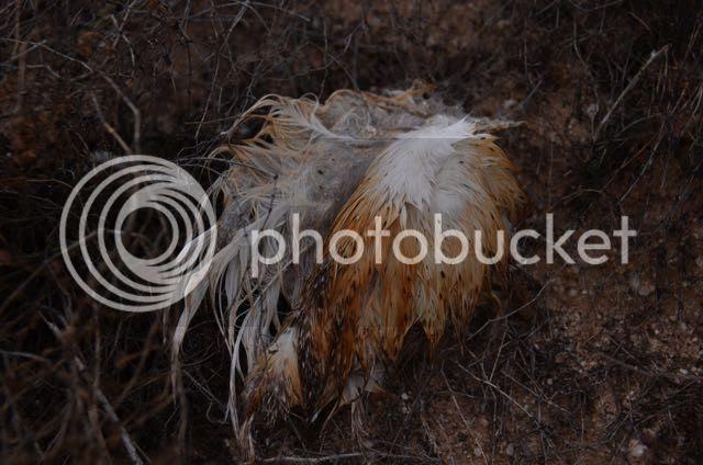photo SONORAN.feathers.prey_zpsbxcoc621.jpg