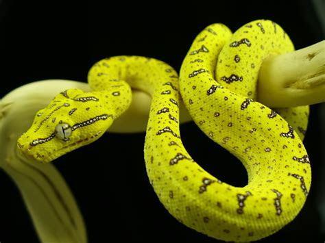 Green Tree Python   Facts Pod