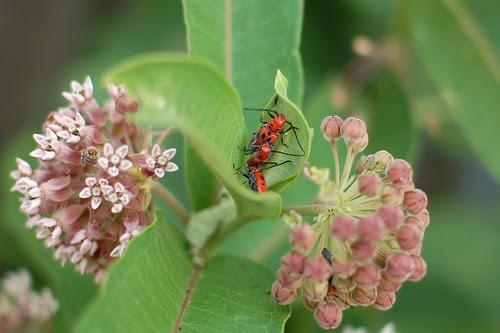 Asian Beetle Orgy