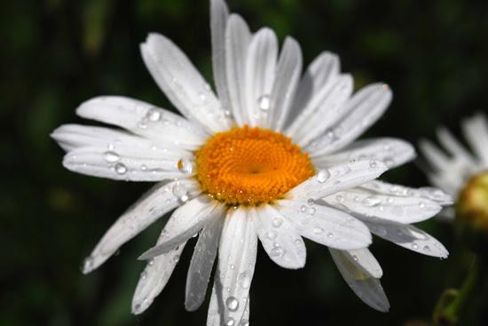 daisy-2