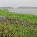 Hyacinths on the Lake