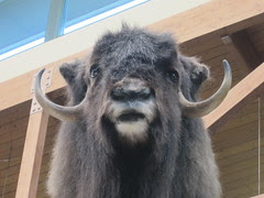 Face of Musk Ox