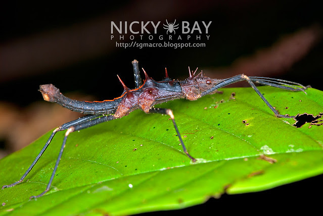 Stick Insect (Phasmatodea) - DSC_2003
