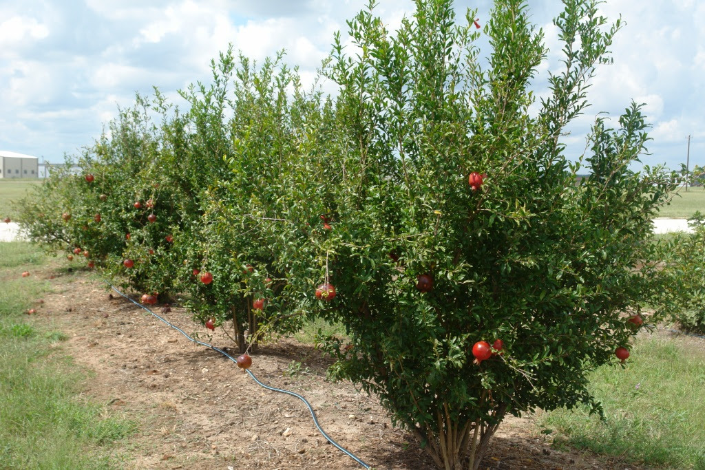 Texas Fruit Growers Blog Fruit Nut Resources