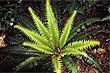 Planta Fern foto