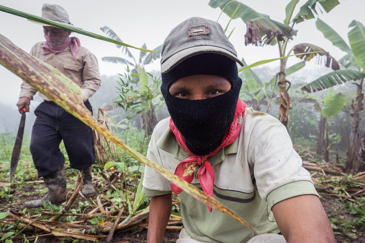 """The Zapatista communities rely heavily on bananas, a plantation for which is seen below, as well as coffee beans and amber, which they trade through self-governed co-operatives overseen by a """"junta"""" that distributes the resulting profits within these poor but self-sustaining villages."""