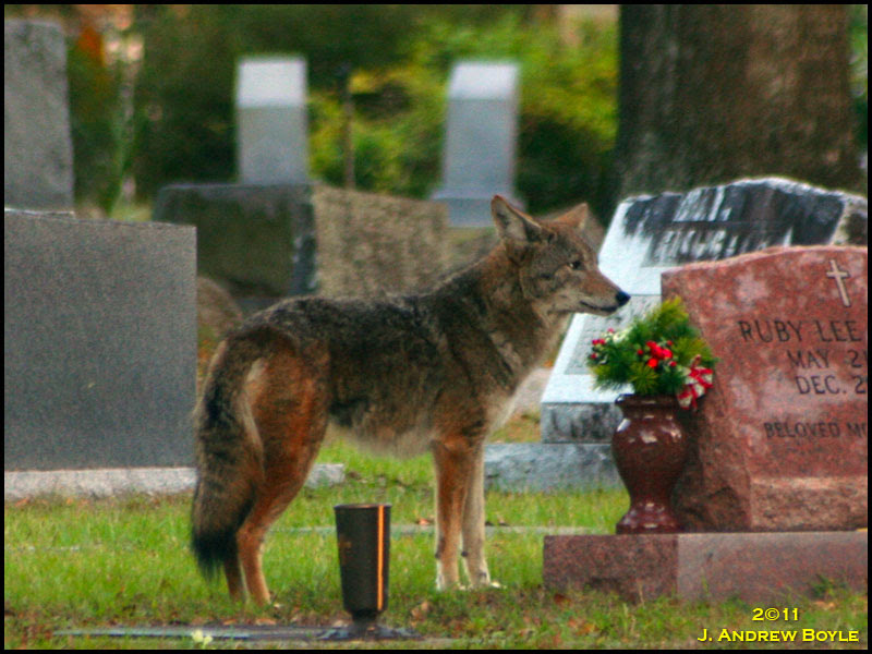 coyote mature personals Coyote members have also testified at government hearings, served as expert witnesses in trials, helped police with investigations of crimes against prostitutes.