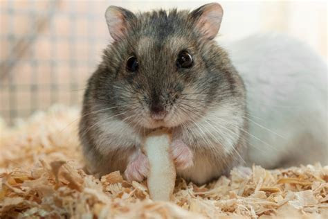 Useful Tips on How to Care for Your Pet Djungarian Hamster