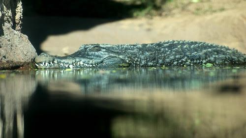 croc-o-gator