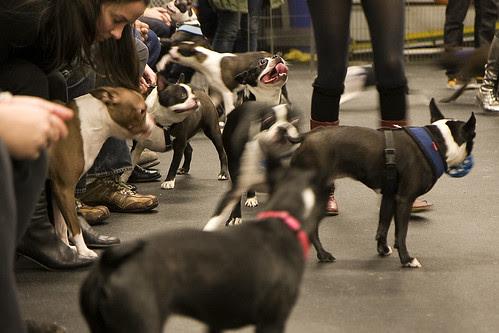 Boston Terriers, NYC