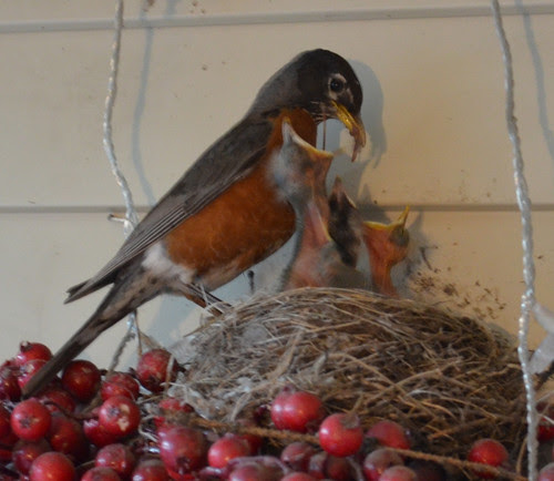 Mom robin with babies