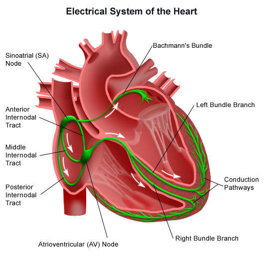 Diagram Of Cardiac Conduction System