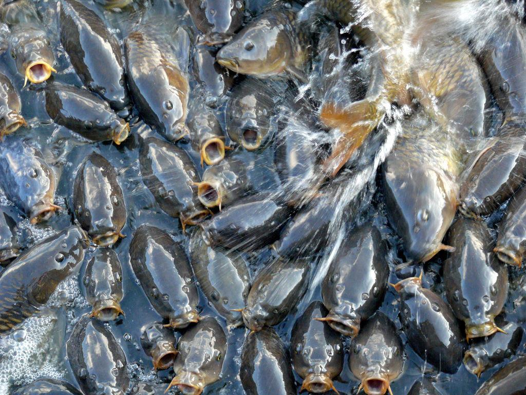 O vertedouro de Linesville: onde os patos caminham sobre peixes 07