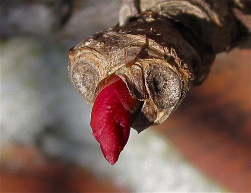 Wildweinblattknospengesicht