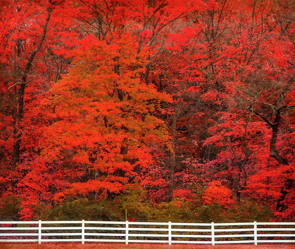 Brilliant red fall foliage, autumn in Grantwood, Missouri
