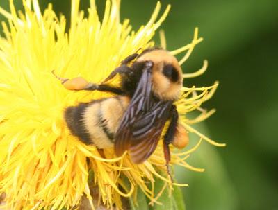 http://wiki.bugwood.org/uploads/BumbleBee1B.jpg