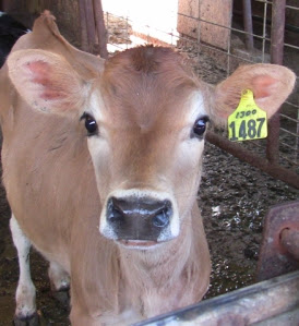 Jersey Calf at McClelland Dairy