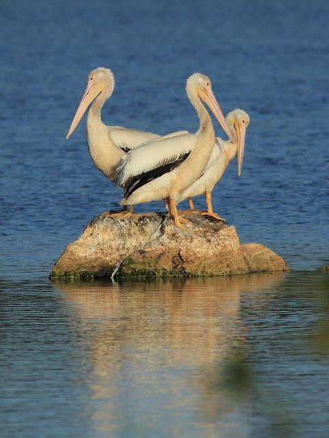 Pelican arrangement 20121201