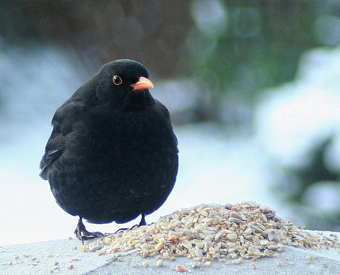 Black angry bird… the real thin. Pretty chuffed to have found this… it's spot on, no? thanks to this nice fella on flickr
