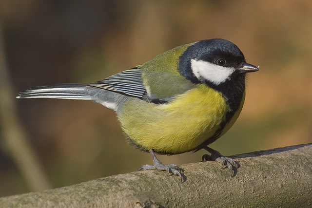 Fájl:Parus major male.jpg