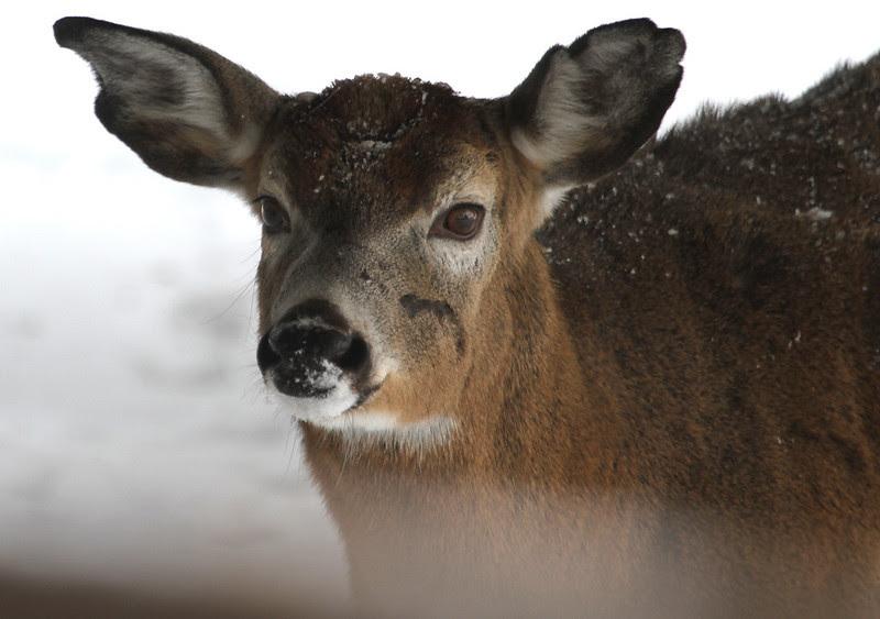 deer scarface