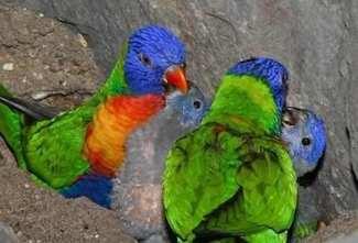 loro arco iris crias  Loro arco iris loro arco iris crias