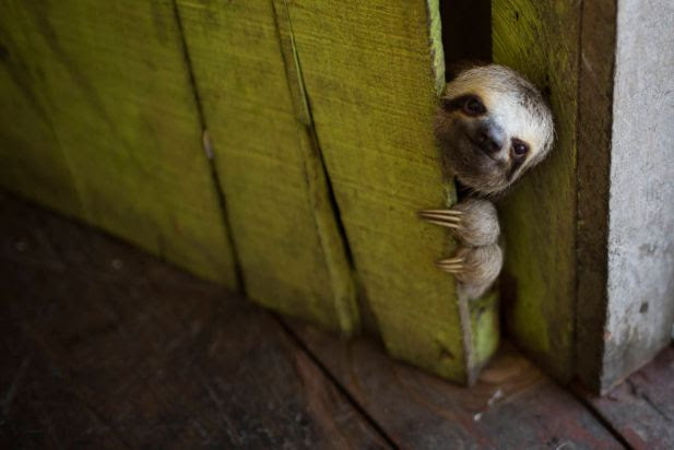 In this Tuesday, May 20, 2014 photo, a female baby sloth peeks out from behind a door on a floating house in the 'Lago do Janauari' near Manaus, Brazil. The sloth was captured by the owner of the floating house, who makes a living showing local fauna to visitors. In an an attempt to prevent any harm to the animals he says he only keeps each animal for a few weeks before returning it to it's natural habitat.