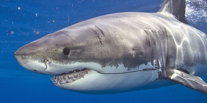 """Résultat de recherche d'images pour """"requin tueur"""""""