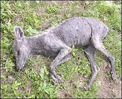 Mangy coyote or mythic sucker of goats?