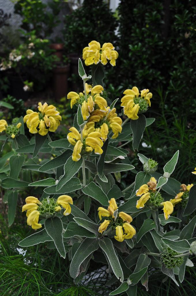 Phlomis fruticosa