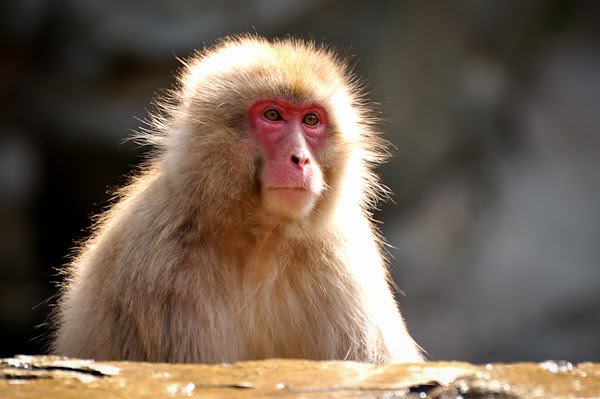20120424-DSC_4444Jigokudani-Monkey