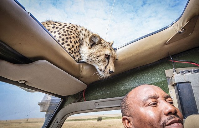 Cheeky cheetah: The inquisitive animal pokes its head through the car's sunroof
