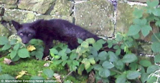 Omen: Only one other black fox has been spotted in Britain before in Preston, Lancashire in 2008 in a graveyard - but it was found dead weeks later