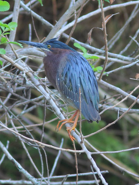 Green Heron culvert nest male 20120413