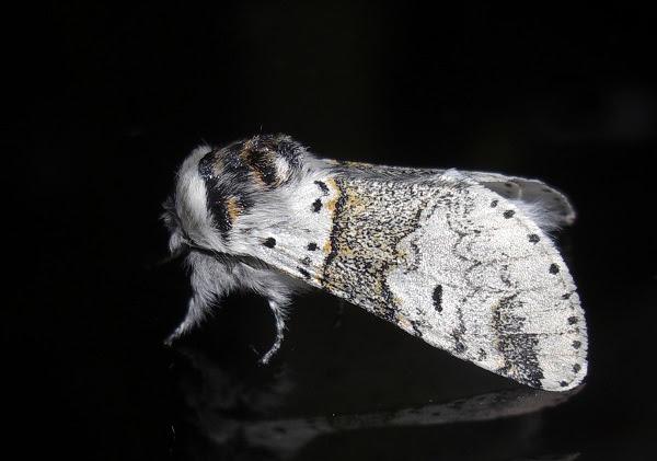 Sallow Kitten Moth